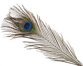 Peacock feather plume — Stock Photo