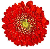 Gerbera flower head — Stock Photo
