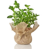 Mint herb bouquet growing — Stock Photo