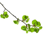 Linden branch with green leaves — Stock Photo