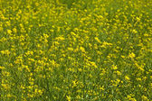 Rapeseed field on summer day — Stock Photo