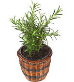 Savory fresh herb rosemary growing — Stok fotoğraf