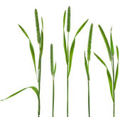 Timothy-grass — Stock Photo