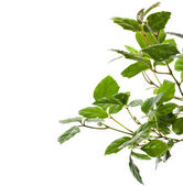 Grassy green indoor plant cissus — Stock Photo