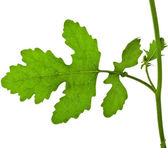 One Leaf of Mustard plant — Stock Photo