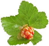 Single fresh cloudberry — Stock Photo