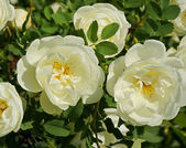 White rose plant in garden — Stock Photo