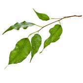 Green leaves of ficus tree — Stock Photo