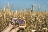 Farmer holding spike of rye — Stock Photo