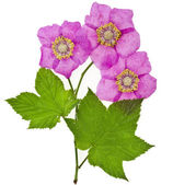 Purple-flowered Raspberry — Stock Photo