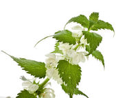 White dead - nettle flowering — Stock Photo