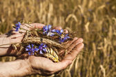 Farmer holding spikelets of rye — Stock Photo