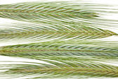 Young Spikelet Barley — Stock Photo