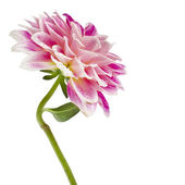 Single Colored Dahlia Flower — Stock Photo