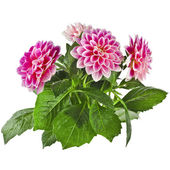 Pink Dahlia Flowers — Stock Photo