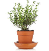 Bunch fresh green thyme herb — Stock Photo