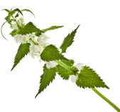 Nettle flowering — Stock Photo