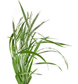 Bunch of green grass — Stock Photo
