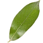 Leaf of silver weeping willow — Stock Photo