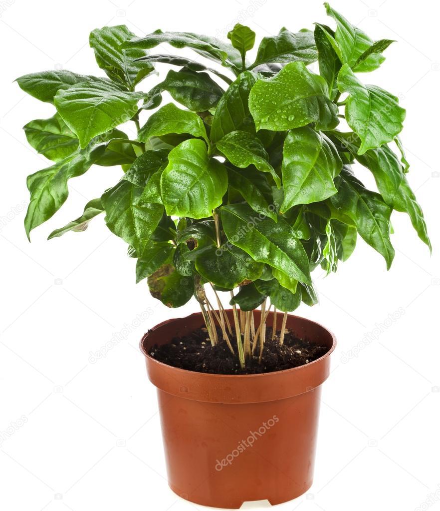 Когда и как пересадить кофейное дерево в домашних условиях