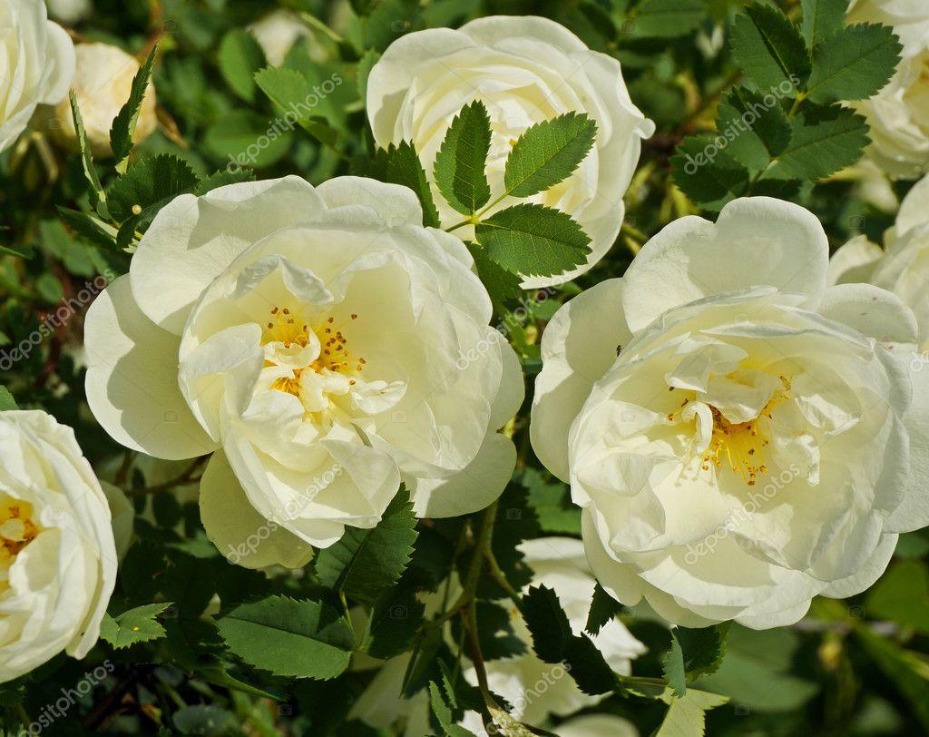 wei e rose pflanzen im garten stockfoto madllen 48502967. Black Bedroom Furniture Sets. Home Design Ideas
