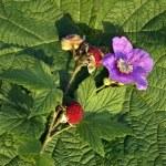(Purple-flowered raspberry — Stock Photo #48519741