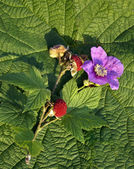 (Purple-flowered raspberry — Stock Photo