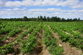 Potato field with blue sky — Stock Photo
