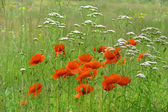 Field of bright red poppy flowers — Stock Photo