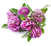Closeup of red clover flowers — Stock Photo