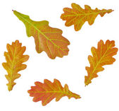 Autumn Oak Leaves Set — ストック写真
