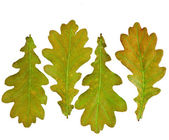 Autumn Oak Leaves set — Stock Photo
