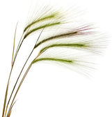 Decorative colorful spikelets — Stock Photo