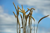 Wheat spikes in summer day — Stock Photo