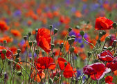 Field of bright red poppy flowers in summer day — Stock Photo
