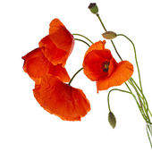 Amapolas rojas — Foto de Stock