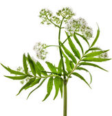 Valerian herb flowering — Stock Photo