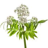 Valerian herb flowering — Stock Photo