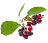 Shadberries close up — Stock Photo