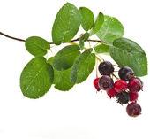 Shadberries kapat — Stok fotoğraf