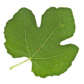 One fig tree leaf surface — Stock Photo