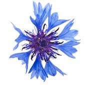 One blue cornflower flower — Foto Stock