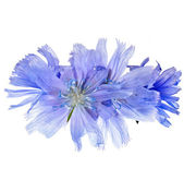 Common chicory flower — Stock Photo