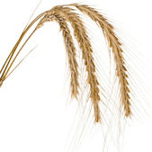 Spikelets and Grains of Wheat ears — Stock Photo