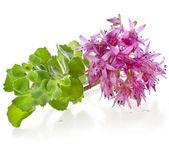 Herbaceous Perennial Plant — Stock Photo