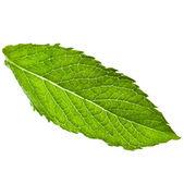 One single green fresh leaf mint — Stock Photo