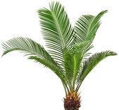 Yeşil palmiye ağacı — Stok fotoğraf