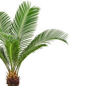 Green palm tree — Stockfoto