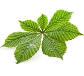 Leaf of horse chestnut tree — Stock Photo