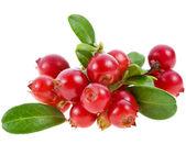 Cranberries cowberries heap — Stock Photo